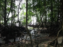 Part of the dense mangrove forest that can be found at Chek Jawa.